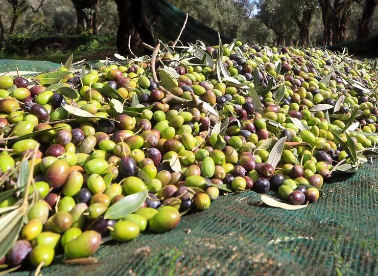 il nostro olio - Oleificio Giacco